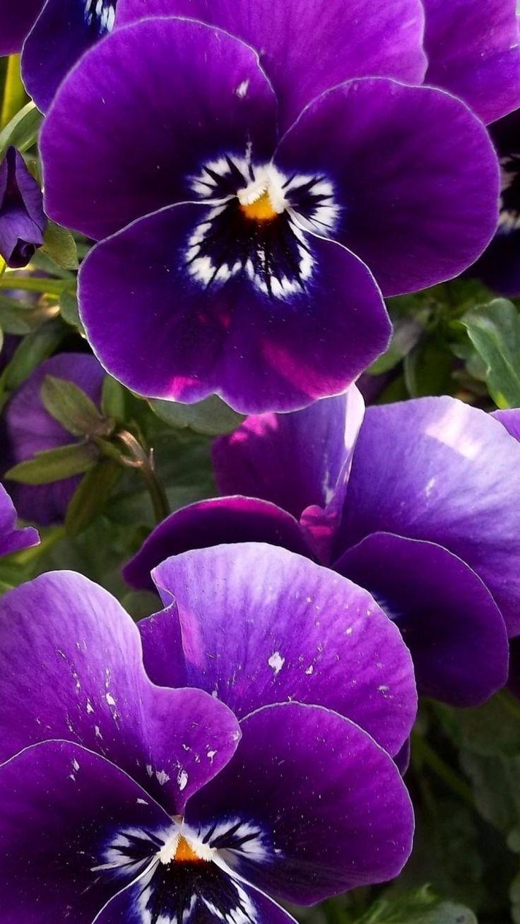 pansies, flowers, flowerbed, close-up