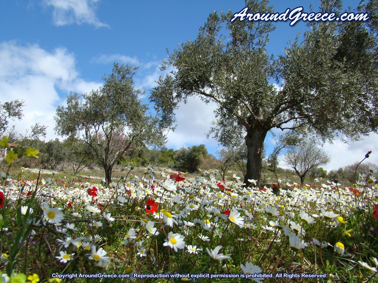 Spring time in Pelion - daisies and poppies everywhere !!  http://www.aroundpelion.com