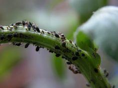 Les pucerons sont une catastrophe pour les plantes! Mais il y a des solutions écologiques