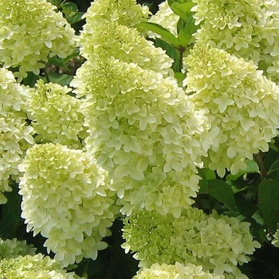 Magical Candle Panicle Hydrangea.. Magical Candle's large white flower heads seem to glow, even as they age to a soft yellow to lime green color. Great as a cut flower, Magical Candle shows off from midsummer to fall.