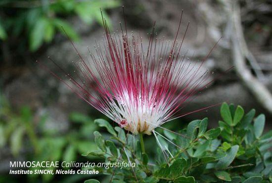 Recientemente el Instituto SINCHI registró una nueva especie para la flora en la Amazonía colombiana, resultado del trabajo conjunto y de la necesidad de conocer cada vez más la riqueza natural de nuestro país.  ¡Un orgullo saber que contamos con tanta Biodiversidad en Colombia!