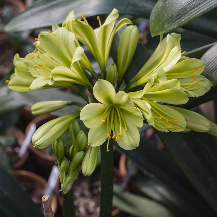 Colorado Clivia's plant number 2308.  Clivia miniata, Koike 35-3 x Koike 3508.