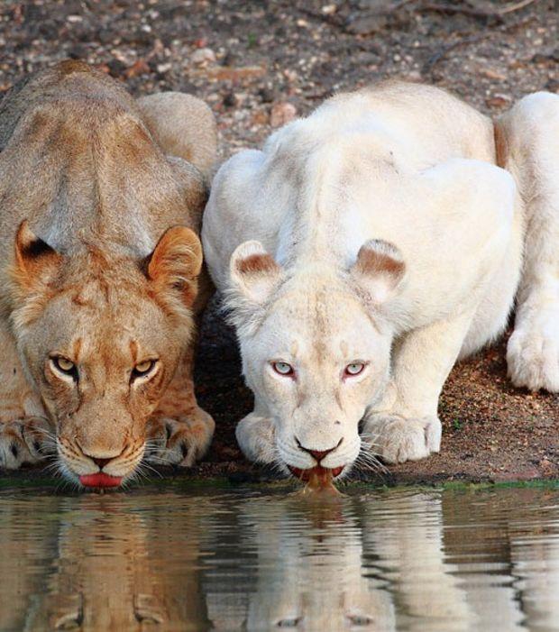 Une lionne blanche aux côtés d'une congénère normale.