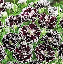 Dianthus Velvet and Lace The gorgeous china pink flowers ...