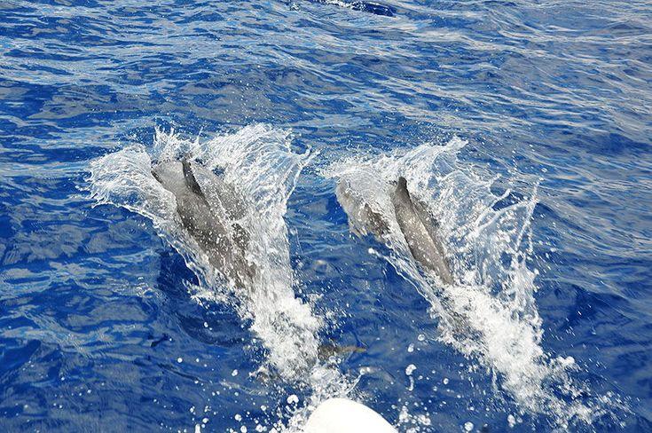 Excursion à Funchal à Madère pour observer les baleines et les dauphins, en catamaran. Renseignements et récit de la visite.