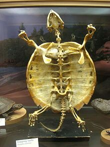 The earliest known turtles date from 220 million years ago, making them one of the oldest reptile groups, more ancient than lizards, snakes or crocodiles. Many of the species alive today are endangered. Turtles are ectotherms- their internal temperature varies according to the environment (cold-blooded). They are amniotes, along with other reptiles, mammals and birds. Like other amniotes, turtles breathe air and don't lay eggs underwater, although many species live in or around water.