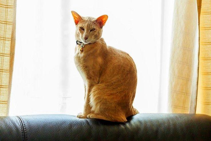 Ориентальная кошка (фото): восточная красавица в вашем доме