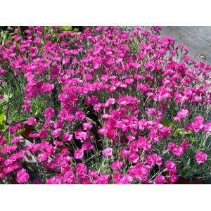 """Dianthus """"Nain Anglais rose"""" - Pépinières Quissac"""