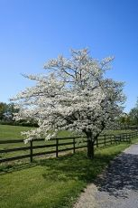 Trimming Dogwood Trees: Tips On How To Prune A Flowering Dogwood Tree    By Jackie Carroll    A harbinger of spring in parts of the country that enjoy mild winters, flowering dogwood trees boast an abundance of pink, white or red flowers long before the first leaves appear in spring. Since they grow only 15 to 30 feet tall, there is room for a dogwood tree in almost any landscape. They seldom need pruning, but when the need does arise, correct dogwood tree pruning leads....