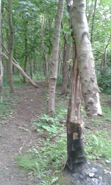 Dangerous tree on path 5th June 2015. I reported it to the council.