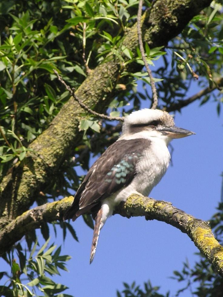 Kookaburra sits in the old gum tree....