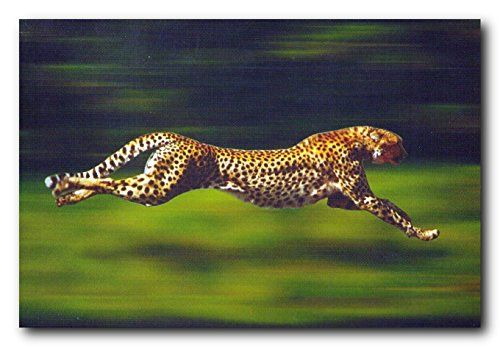 Lend an interesting twist to your dull living room interior with this wonderful running cheetah wildlife animal poster. It will make a bold statement to your home interior and help you to showcase your love for nature and wildlife animals to those who visits your home. The cheetah is a large feline inhabiting most of Africa and parts of Iran. Cheetahs rarely return to the kill and will eat carrion only under dire circumstances.