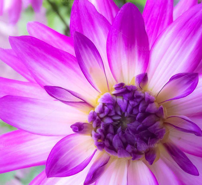 Purple Dahlia Flower Close Up by Anissa Craig Photography on Creative Market