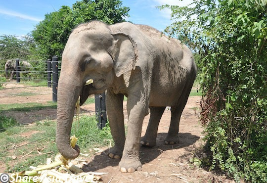 One of the elephants at the Wildlife Friends Foundation of Thailand (WFFT) near Cha-Am in Southern Thailand. Tiger Trail Thailand will soon feature tours to this fantastic wildlife sanctuary combined with a visit to Kaeng Krachan National Park, the largest national park of Thailand. We are looking forward to work together with the WFFT.