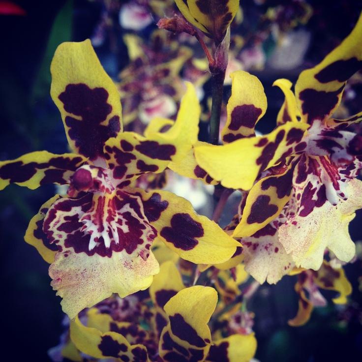 laura Laura H. Orchids