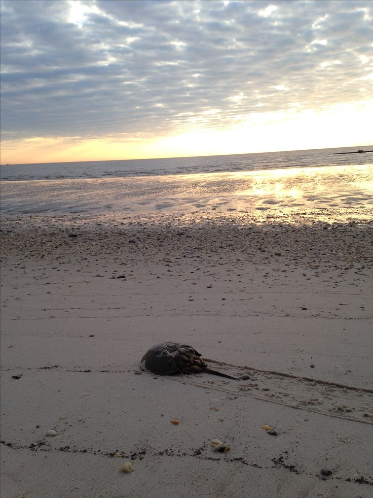 Horseshoe crab making its way back to sea at Pickering Beach in DE.