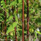 Balcony - red cane bamboo - needs regular watering though