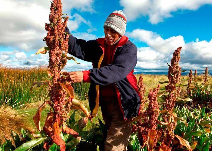 Quinoa planta - Pesquisa Google
