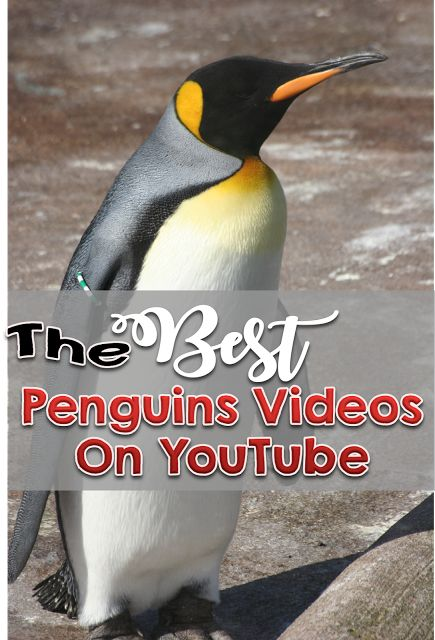 The Best Penguin Videos on YouTube for kindergarten, first and second grade students