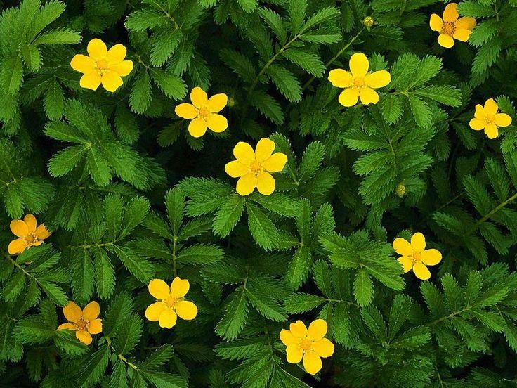 45 best images about arbustos con flores on pinterest - Arbustos perennes con flor ...