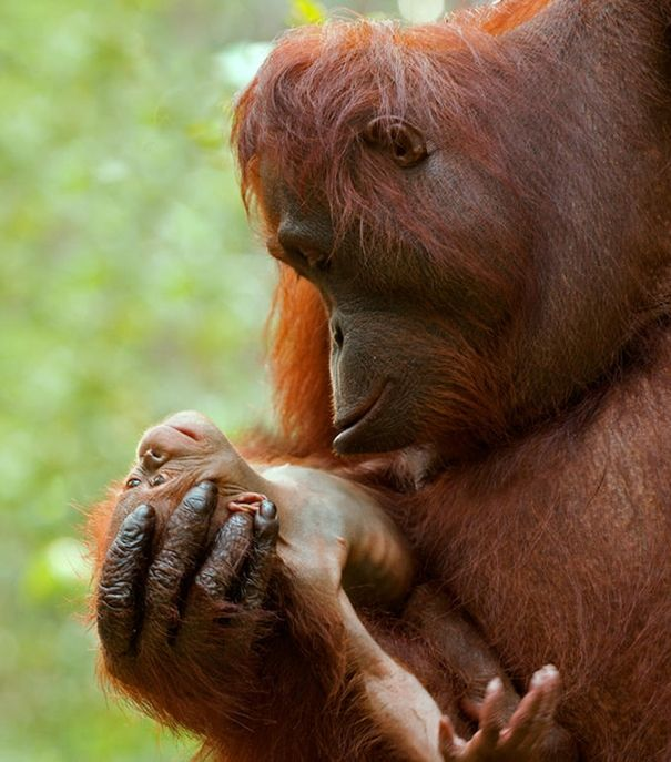 It is fascinating that orangutan mothers nurse their babies until they are five years old or more, which makes them the species with the longest dependence period.