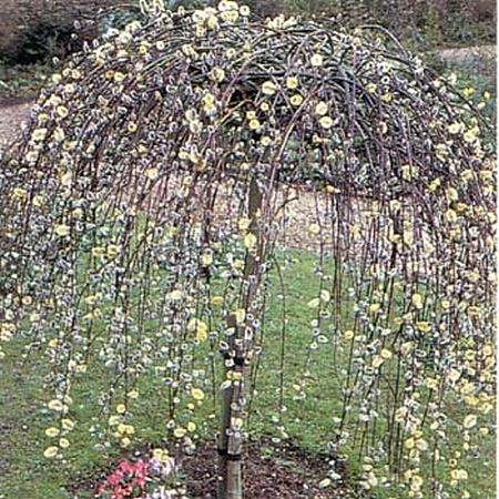 Dwarf flowering trees willow trees weeping willow dwarf ornamental trees trees - Decorative small trees for landscaping ...