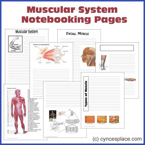 Anatomy Notebooking Pages - Muscular System