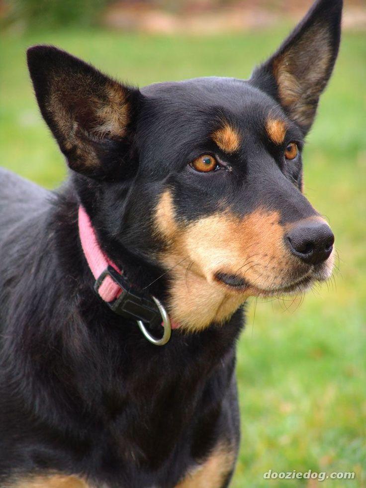 Australian Kelpie - Google Search These dogs are so cute!