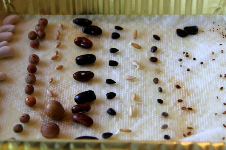 Sprouting Seed Prediction -- sprout a variety of seeds on a tray to learn about seed shapes, sizes, and germination times.