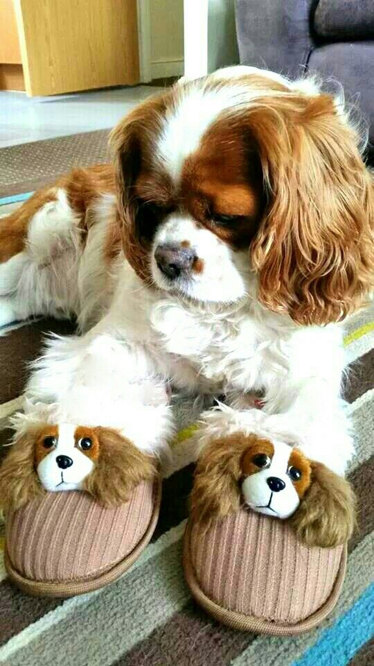'Do you like my new Slippers Mummy bought me?' - Cute Cavalier King Charles Spaniel Dog mesmerized by his new Friends