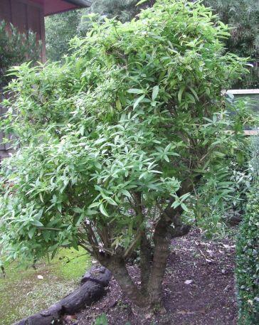 Lovely Lemon Verbena Lynn Kirkland Herb Farm New Zealand
