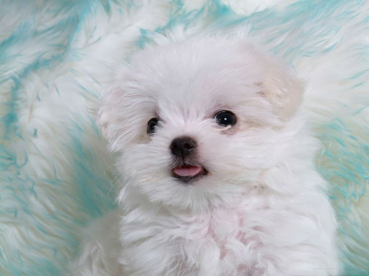 """Latest Cute Puppies images,pics Cute  Puppies HD Wallpapers Blog.Free download  High Definition desktop wallpapers make your desktop beautiful. We put some Cute Puppies original photography and  photos to give you the natural pictures in HD.                                                        w2bPinItButton({        url:""""http://wallpaperssea.blogspot.com/2013/11/cute-puppies-hd-wallpapers.html"""",        thumb: """"http://3.bp.blogspot.com/-QYxQ-3t3Db0/Uo2ksdxwB-I/AAAAAAAAMXU/mgp7RtckgfM/s"""