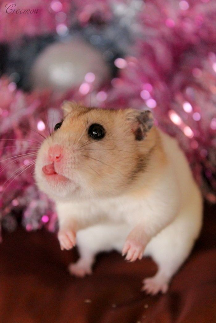 Slurp! #hamster