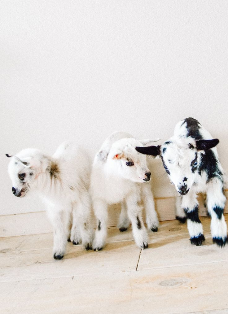 Pregnant Goat Care for Successful Kidding — Thermaland Oaks Baby goats Baby Farm Animals, Cute Little Animals, Animals And Pets, Funny Animals, Goat Care, Fluffy Cows, Nigerian Dwarf Goats, Raising Goats, Cute Goats