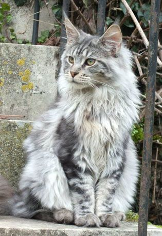 Élevage de Maine Coon - Charente                                                                                                                                                      Plus http://www.mainecoonguide.com/fun-facts-maine-coon-cats/