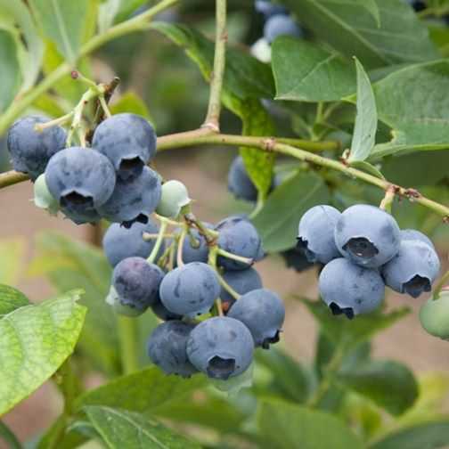 Blueberry bush 'Spartan'. One of the best flavoured varieties, cropping early in the season. Needs acid soil and some sun.