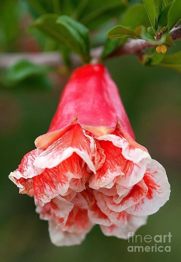 ✯ Sweet Pomegranate Bloom