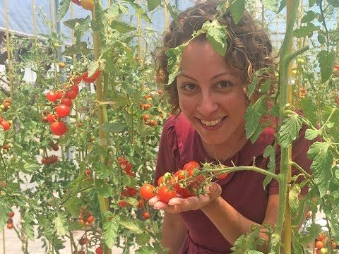 As melhores dicas para tomate e pimenta darem certo em vaso