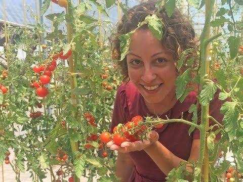 Pimentas e tomates são as duas plantas que mais aparecem nas dúvidas recebidas pela Carol Costa, no Minhas Plantas. É por isso que a Isla Sementes dedicou um...