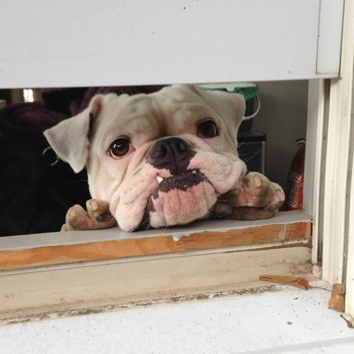 English Bulldog- How can you not Loveee that Face???!!!