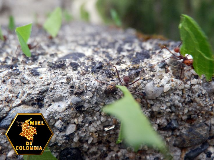 Esta hormigas pertenecen a la Familia Formicidae, Tribu Attini y  se caracterizan por un sofisticado hábito de cultivar y alimentarse de hongos.  Actualmente son consideradas entre las cinco plagas más limitantes en zonas de cultivos agrícolas del Eje Cafetero, pues atacan una gran variedad de vegetación, especialmente zonas de cultivo, pastizales, árboles de importancia forestal, maleza  y hasta plantas de jardín.