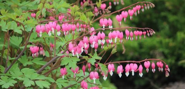 Särkynytsydän voi kuulostaa surulliselta, vaikka kukka on tosi kaunis