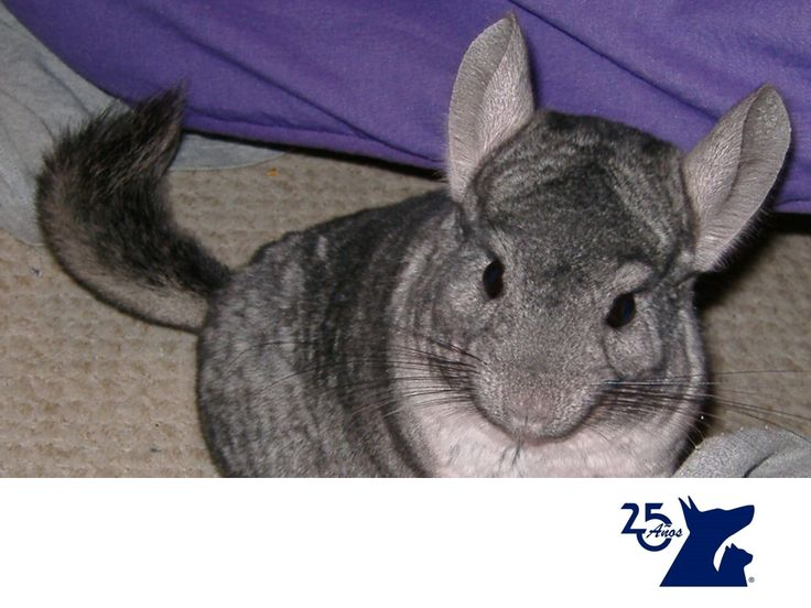 LA MEJOR CLÍNICA VETERINARIA. Las chinchillas son una buena opción de mascota para los niños, ya que por su pelaje suave y por su tamaño son muy llamativas para ellos. Son muy sociables y comunicativas, más que otros roedores como hámsteres y cuyos. Hay que tener cuidado con su pelaje, ya que es delicado y requiere de baños de arena para mantenerlo limpio. En Clínica Veterinaria del Bosque contamos con médicos veterinarios especialistas para atender a tu mascota. www.veterinariadelbosque.com