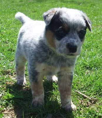 Puppys Puppies For Sale And Blue On Pinterest