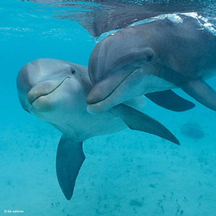 Sie scheinen stets zu lächeln und zu Clownerien bereit: Meeresdelfine. In Wahrheit sind die zu den Walen gehörenden Großen Tümmler clevere Fischräuber: Sie erjagen ihre Beute gemeinschaftlich durch Fallenstellen und Ultraschallsignale – Diese Karte hier online kaufen: http://bkurl.de/pkshop-212048 Art.-Nr.: 212048 Gruppenjäger | Foto: © Doug Perrine | Text: Rolf Bökemeier