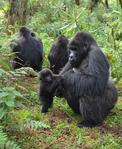 A male gorilla grooms a baby gorilla. (Photo copyright © The Dian Fossey Gorilla Fund International)