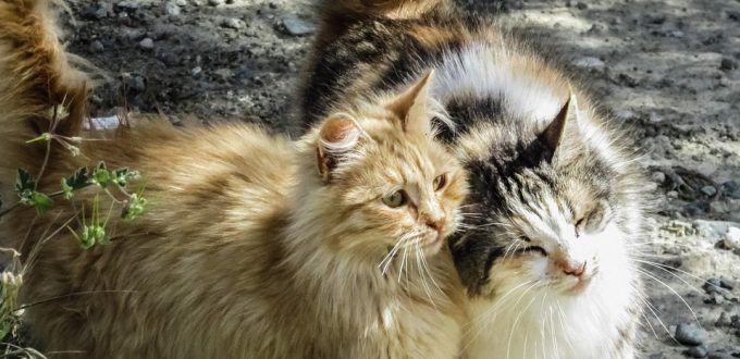Een kat of kitten erbij kan heel leuk zijn. Zeker als de nieuwkomer bevriend raakt met je oude katten. Waarom ik als kattengedragsdeskundige aanraad om katten gecontroleerd en langzaam aan elkaar te laten wennen lees je in dit blog. http://blog.lekkerinjevacht.com/katten-aan-elkaar-laten-wennen/