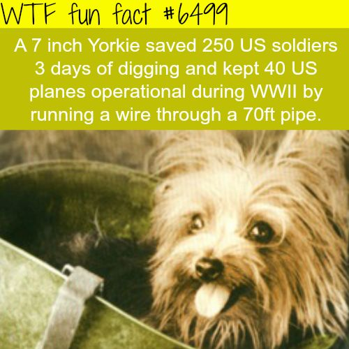 Tiny Yorkie - WTF fun facts - http://thisissnews.com/tiny-yorkie-wtf-fun-facts/