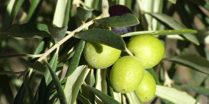 L'huile d'olive Ce propriétaire-récoltant produit depuis des décennies un précieux liquide que le village des Mées permet d'apprécier. Une terre privilégiée où la nature a créé une combinaison rare d'ensoleillement et de sol pierreux, pour cet arbre mythique : l'olivier. L'huile d'Olive Vierge Extra Première Pression à froid «Pur Terroir» est obtenue exclusivement avec les …
