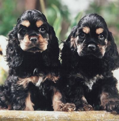They remind me of my Sinjun, he has very similar coloring. American Cocker Spaniels.